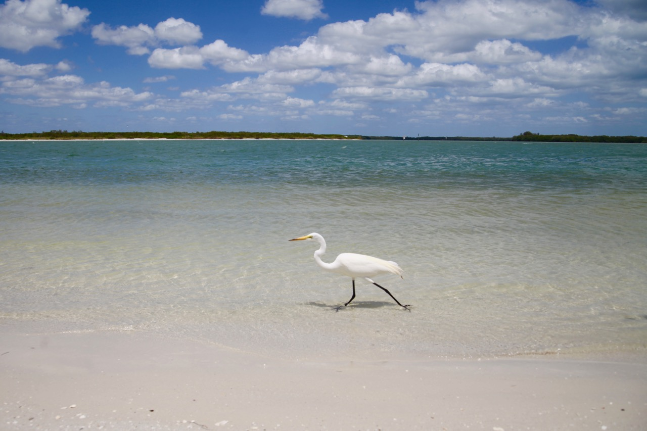 Great Egret, Fort DeSoto Park, Florida